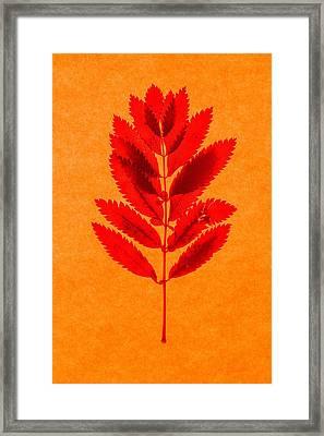 Rowan Leaves Framed Print by Graeme Harris