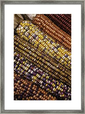 Rows Of Indian Corn Framed Print by Garry Gay