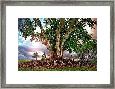 Rubber Tree Framed Print by Mal Bray