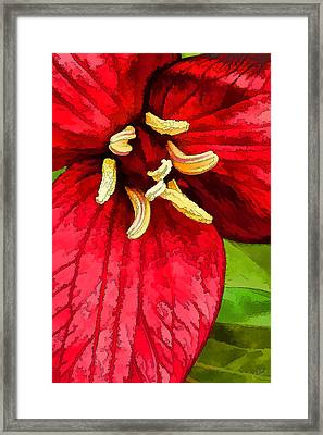 Ruby Red Trillium Framed Print by Bill Caldwell -        ABeautifulSky Photography