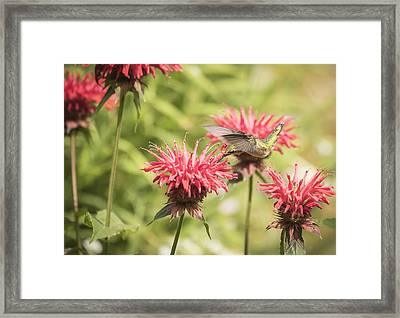 Ruby Throated Hummingbird 1-2015 Framed Print by Thomas Young