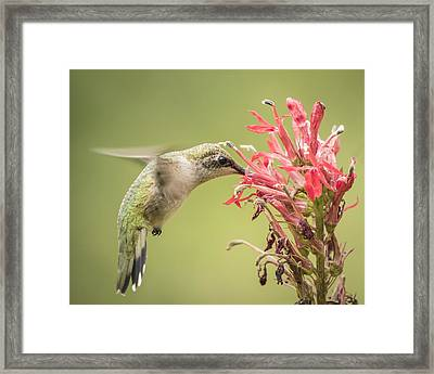 Ruby Throated Hummingbird 10-2015 Framed Print by Thomas Young