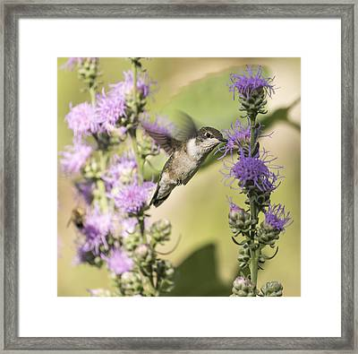 Ruby-throated Hummingbird 13-2015 Framed Print by Thomas Young