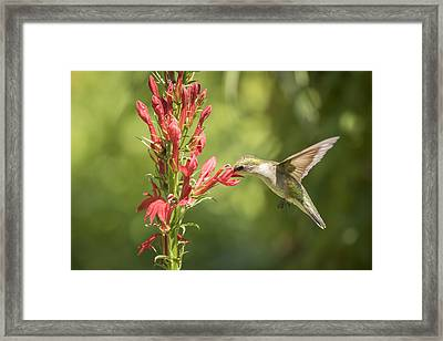 Ruby Throated Hummingbird 2-2015 Framed Print by Thomas Young
