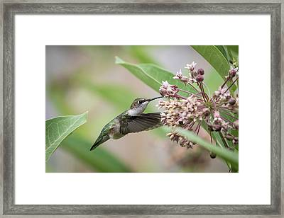 Ruby Throated Hummingbird 2016-1 Framed Print by Thomas Young