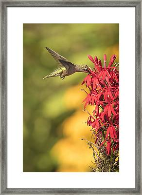 Ruby Throated Hummingbird 9-2015 Framed Print by Thomas Young