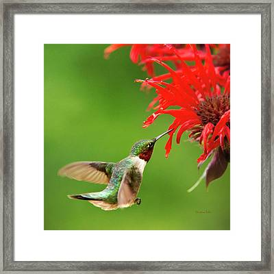 Ruby-throated Hummingbird With Red Flowers Framed Print by Christina Rollo