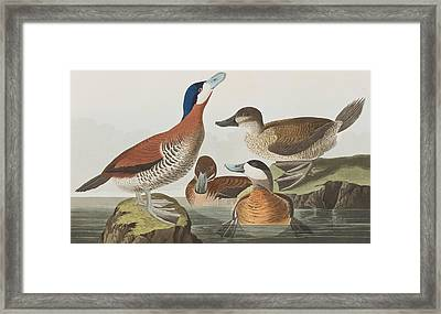 Ruddy Duck Framed Print by John James Audubon