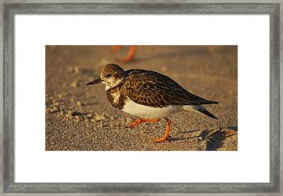 Ruddy Turnstone Framed Print by Andrew Johnson