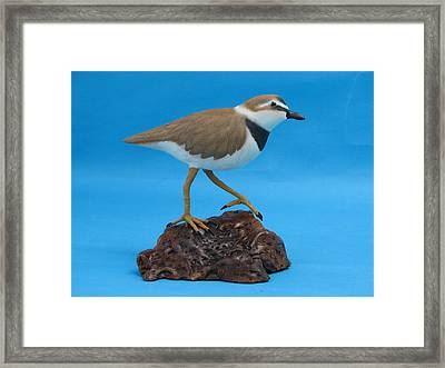 Ruddy Turnstone Framed Print by Jack Murphy