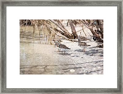 Ruddy Turnstone Framed Print by Scott Pellegrin
