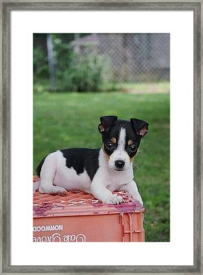 Rudy The Rat Terrier Framed Print by Rebecca Poole