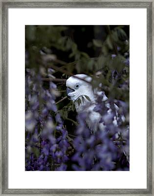 Rudy The Umbrella Cockatoo Framed Print by Jeanette C Landstrom