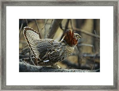 Ruffed Grouse Bonasa Umbellus Male Framed Print by Michael Quinton