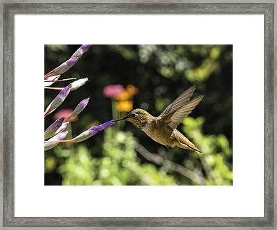 Rufous Or Allen's Framed Print by Mike Herdering