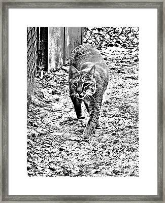 Rufus The Bobcat Framed Print by Pamela Iris Harden