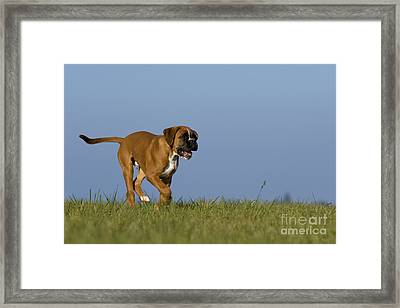 Running Boxer Puppy Framed Print by Jean-Louis Klein & Marie-Luce Hubert