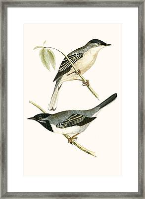 Ruppell's Warbler Framed Print by English School