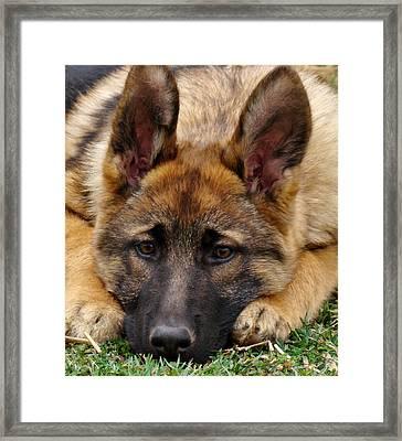 Sable German Shepherd Puppy Framed Print by Sandy Keeton