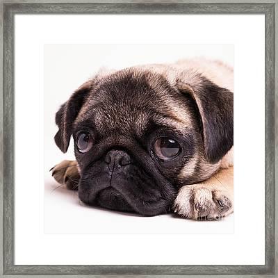 Sad Sack - Pug Puppy Framed Print by Edward Fielding