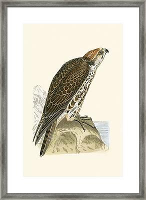 Saker Falcon Framed Print by English School