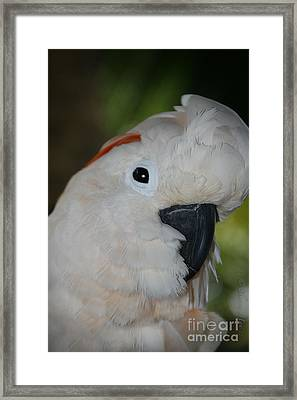 Salmon Crested Cockatoo Framed Print by Sharon Mau