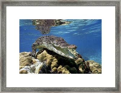 Saltwater Crocodile Smile Framed Print by Mike Parry