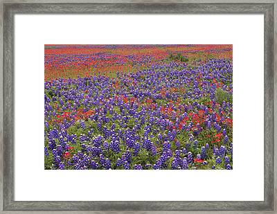 Sand Bluebonnet And Paintbrush Framed Print by Tim Fitzharris