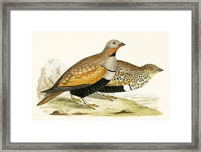 Sand Grouse Framed Print by English School