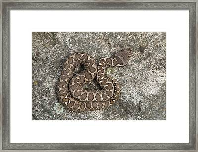 Sand Viper Is A Stone In Bulgaria Framed Print by Ronald Jansen