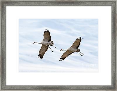 Sandhill Crane Approach Framed Print by Mike Dawson