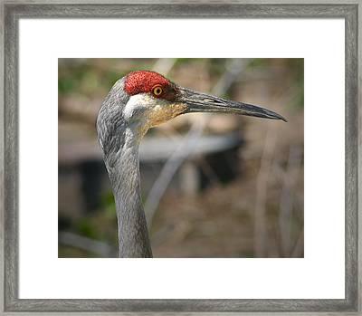 Sandhill Crane Closeup Framed Print by Brian M Lumley