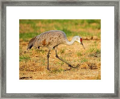 Sandhill Crane Grazing Framed Print by Mike Dawson