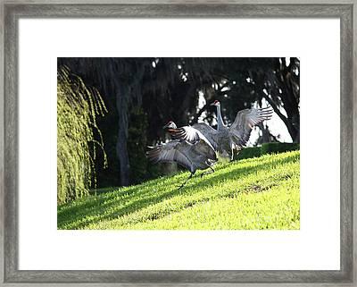 Sandhill Crane Landing 3 Framed Print by Carol Groenen