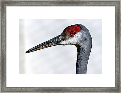 Sandhill Crane Framed Print by Marty Koch