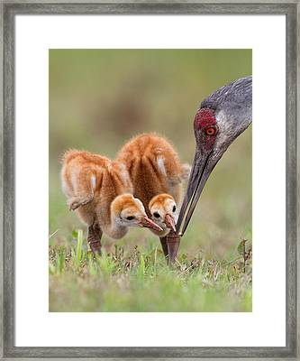 Sandhill Crane With Chicks Framed Print by Alfred Forns