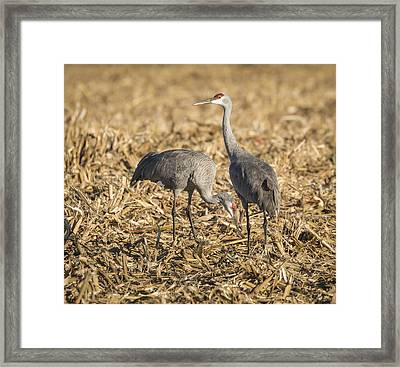 Sandhill Cranes  2015-1 Framed Print by Thomas Young