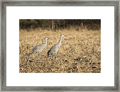 Sandhill Cranes  2015-2 Framed Print by Thomas Young