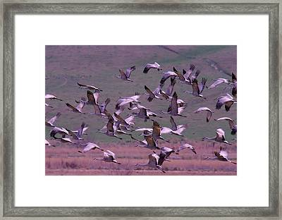 Sandhill Cranes  Framed Print by Jeff Swan