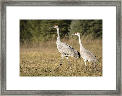 Sandhill Family 2015-1 Framed Print by Thomas Young