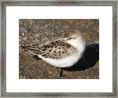 Sandpiper Framed Print by Doug Mills