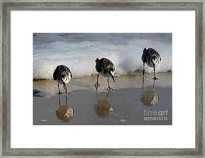 Sandpipers Feeding Framed Print by Dan Friend