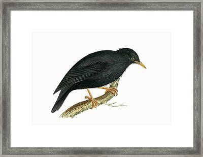 Sardinian Starling Framed Print by English School