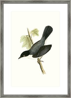 Sardinian Warbler Framed Print by English School