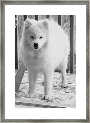 Sassy Samoyed Framed Print by Lisa  DiFruscio