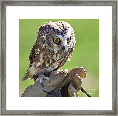 Saw-whet Owl Framed Print by Kevin Hertle