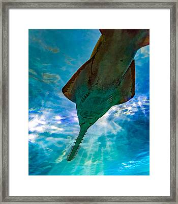 Sawfish Framed Print by Steve Harrington