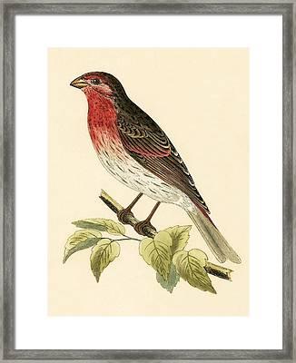 Scarlet Bullfinch Framed Print by English School