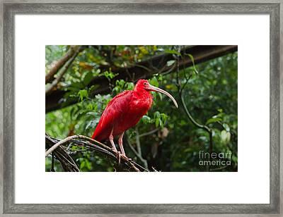 Scarlet Ibis Framed Print by B.G. Thomson