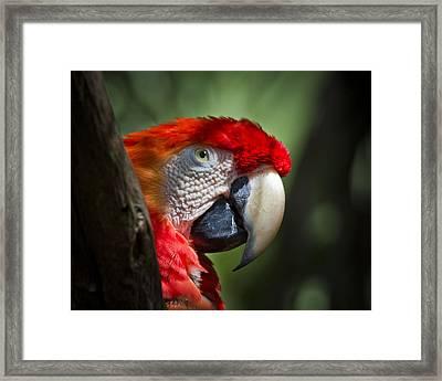 Scarlet Macaw Framed Print by Roger Wedegis